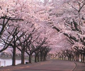 cherry tree, japan, and pink image