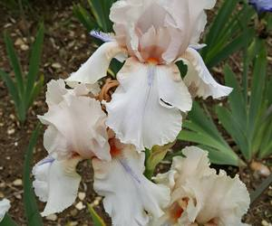 details, flowers, and iris image