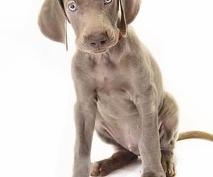 dog, puppy, and weimaranerpuppy image