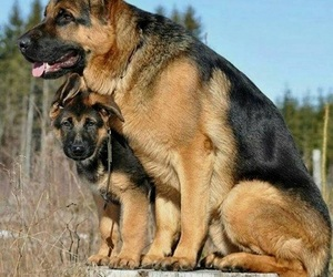 animals, shepherds, and cute animals image