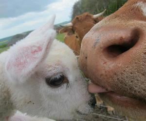animal, love, and cow image