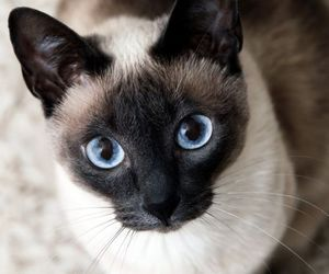 cat, eyes, and siamese image