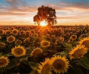 sunflower, amazing, and beautiful image