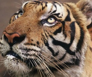 tiger, animal, and tigre image
