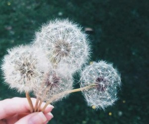 nature, dandelion, and flowers image