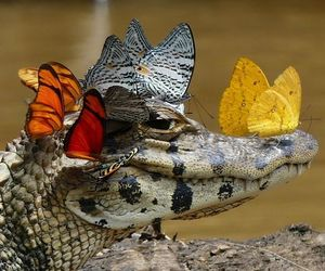 butterfly, animal, and crocodile image