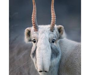 saiga antelope image
