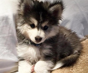 adorable, dog, and fluffy image
