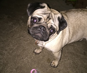 dogs, mone, and willy the pug image