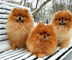 dogs, cute, and fluffy image