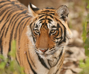 bengal, endangered, and tigre image