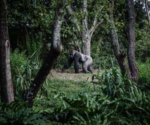 animal, gorilla, and jungle image