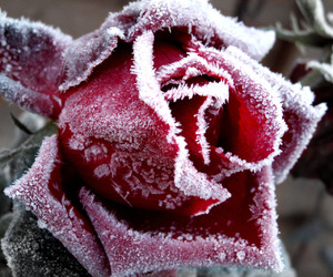 rose, ice, and red image