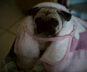 cold, cute, and pug image