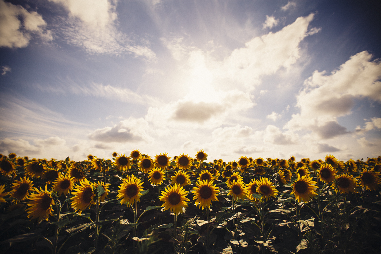 sunflower, flowers, and article image