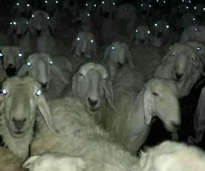 animals, grunge, and sheep image