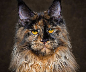 animals, maine-coon, and cats image