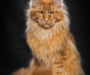 animals, cats, and maine-coon image