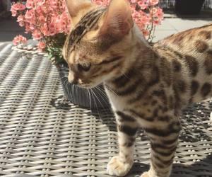 bengal, bengal cat, and cat image
