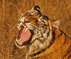 bengal, carnivore, and conservation image
