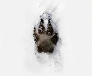 paws, snow, and animal image