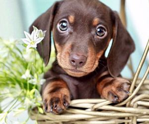 dachshund, dog, and puppy image