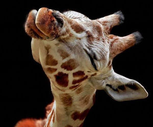 giraffe, animal, and kiss image