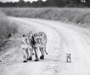 amazing, animals, and lions image
