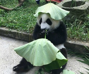 animals, leaves, and panda image
