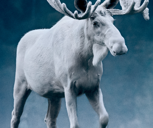 animals, moose, and wildlife image