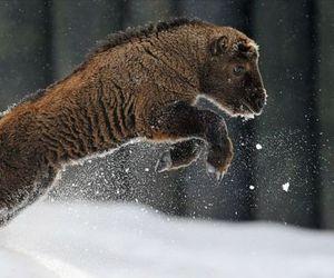 animals, bison, and wildlife image