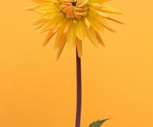 dahlia, flowers, and orange image