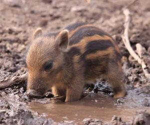 animal, pig, and tiny image