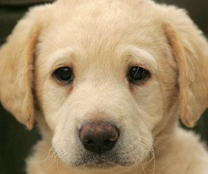 dog, labrador, and cute image