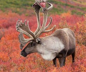 animals, majestic, and moose image