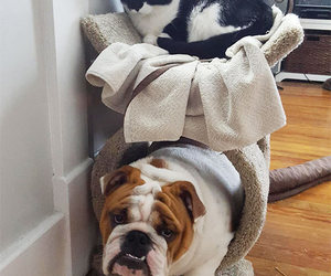 bulldogs, dog, and cat image