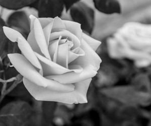 black and white, black&white, and flowers image