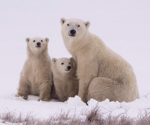adorable, animals, and bear image