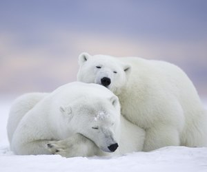animals, Polar Bear, and bear image