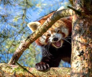 animals, funny, and Red panda image