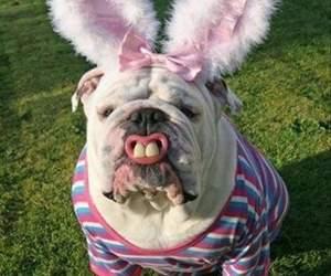 dog, funny, and bulldog image