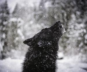wolf winter black image