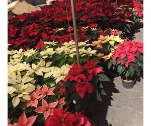 christmas, flowers, and nochebuena image