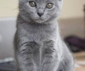 animals, gray, and cat image