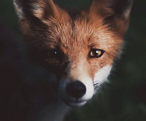 animal and fox image