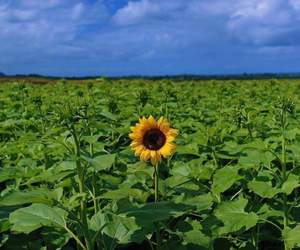 blue, sunflower, and yellow image