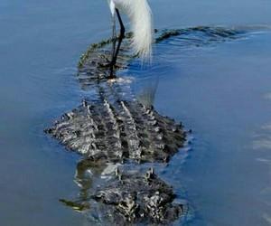 cocodrilo image