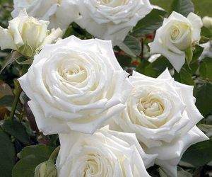 beautiful, rose garden, and white roses image