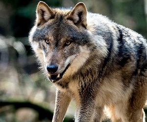 beautiful, forest, and canis lupus image