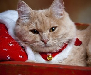 cat, christmas, and red cat image